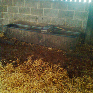 Straw yard management and the poor positioning of a water trough can increase the environmental bacteria present which can cause clinical mastitis